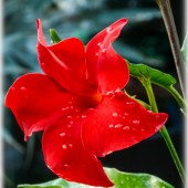 Mandevilla ´Crimson Red`-Мандевилла ´Crimson Red`