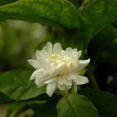 Жасмин Самбак-Jasminum sambac ґGrand Duke of Tuscany` - Arabischer Jasmin