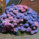 Гортензия крупнолистовая Bouquet Rose-Hydrangea macrophylla Bouquet Rose