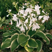 Хоста DIANA REMEMBERED-Hosta DIANA REMEMBERED